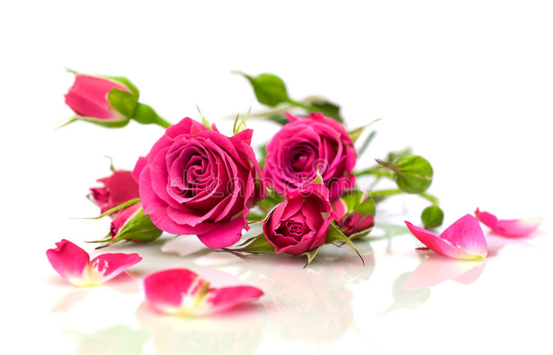 Beautiful pink roses with reflection royalty free stock image