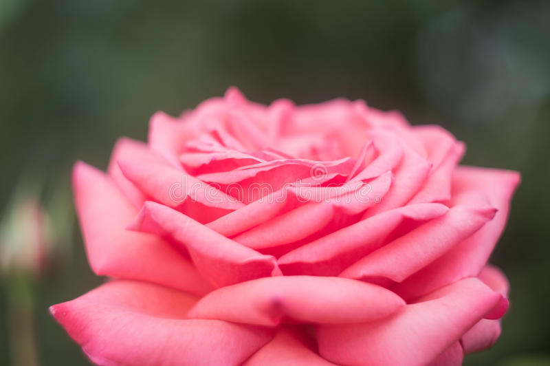 Beautiful pink roses in rose garden.  royalty free stock images