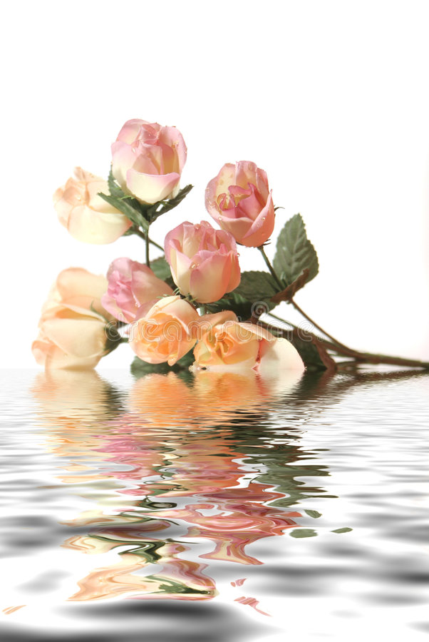 Beautiful pink roses with water reflection isolated on white background royalty free stock image