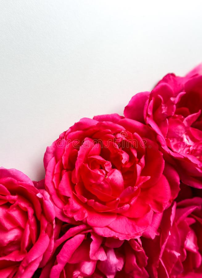 Beautiful pink roses on white background. Ideal for greeting cards stock photos
