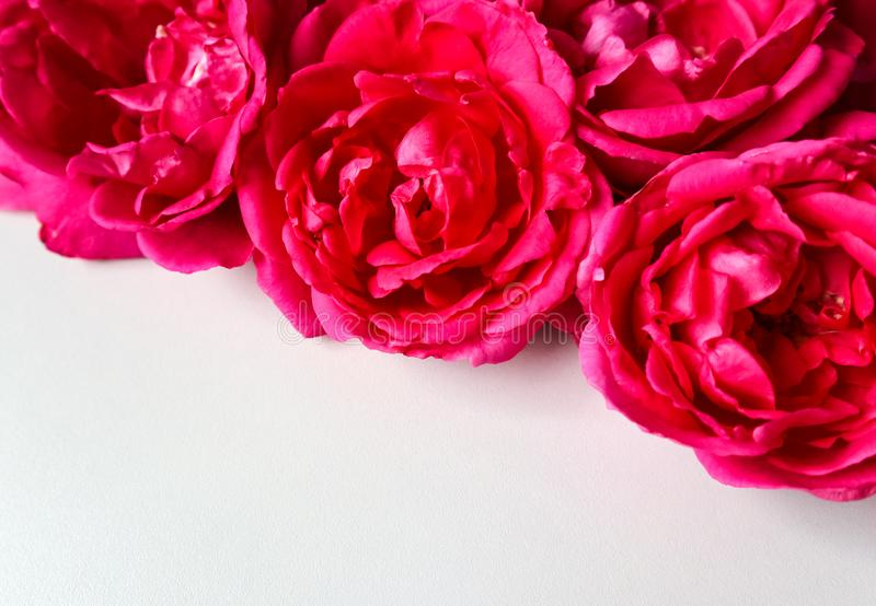 Beautiful pink roses on white background. Ideal for greeting cards stock image