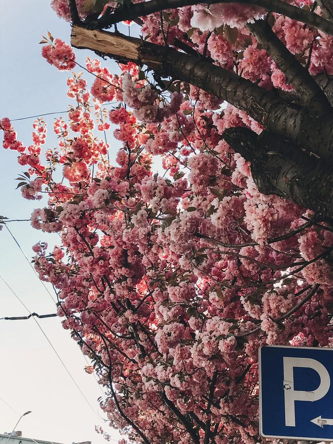 Beautiful pink sakura flowers on branches in blue sky. Cherry tree blossoms on sky in sunny city street. Hello spring. Phone photo royalty free stock image