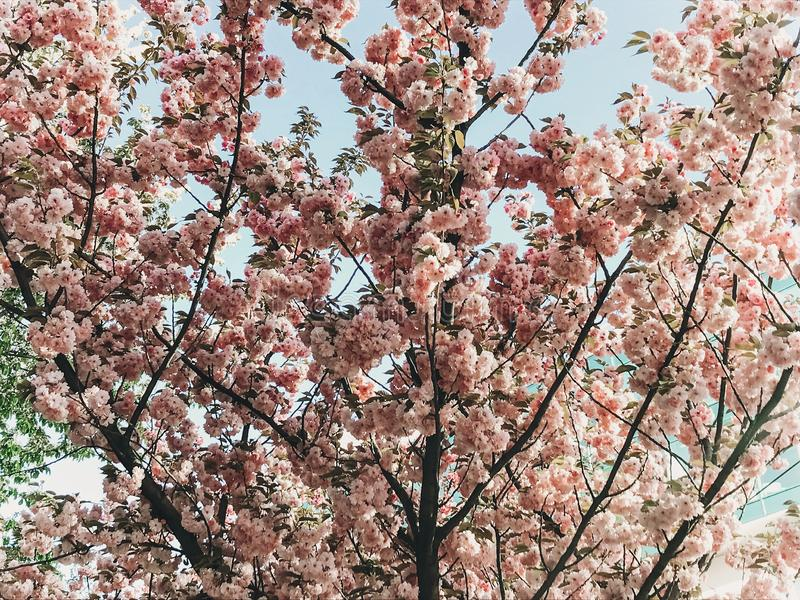 Beautiful pink sakura flowers on branches in blue sky. Cherry tree blossoms on sky in sunny garden. Hello spring. Phone photo stock photography