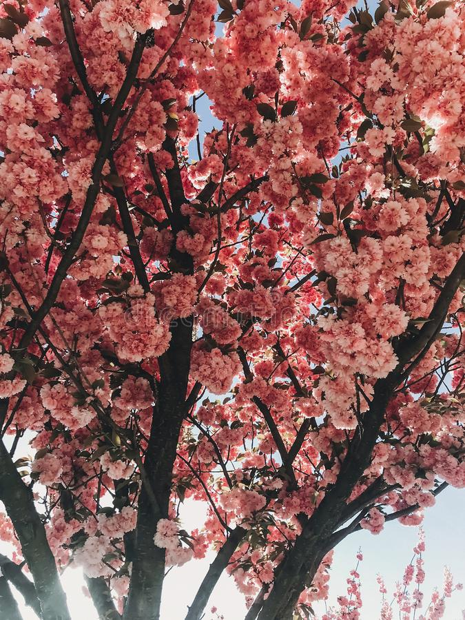 Beautiful pink sakura flowers on branches in blue sky. Cherry tree blossoms on sky in sunny garden. Hello spring. Phone photo stock photos