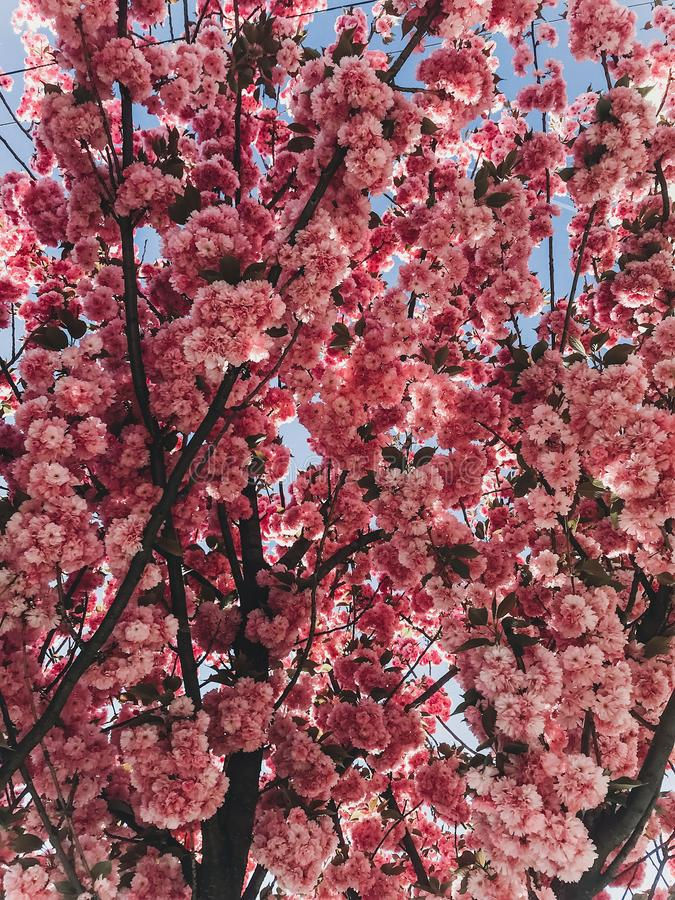 Beautiful pink sakura flowers on branches in blue sky. Cherry tree blossoms on sky in sunny garden. Hello spring. Phone photo stock images