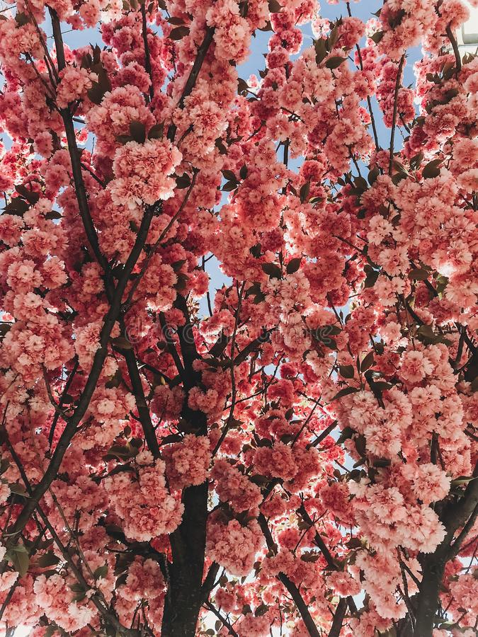 Beautiful pink sakura flowers on branches in blue sky. Cherry tree blossoms on sky in sunny garden. Hello spring. Phone photo royalty free stock photography