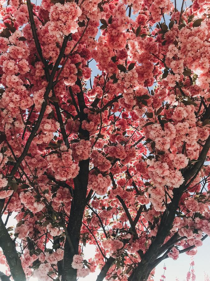 Beautiful pink sakura flowers on branches in blue sky. Cherry tree blossoms on sky in sunny garden. Hello spring. Phone photo royalty free stock photos
