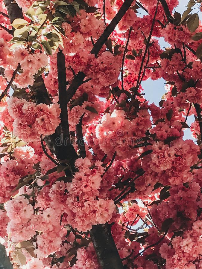 Beautiful pink sakura flowers on branches in blue sky. Cherry tree blossoms on sky in sunny garden. Hello spring. Phone photo royalty free stock images
