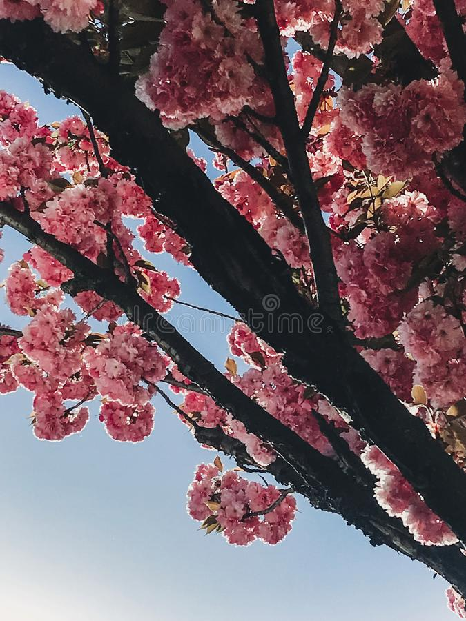 Beautiful pink sakura flowers on branches in blue sky. Cherry tree blossoms on sky in sunny garden. Hello spring. Phone photo stock image