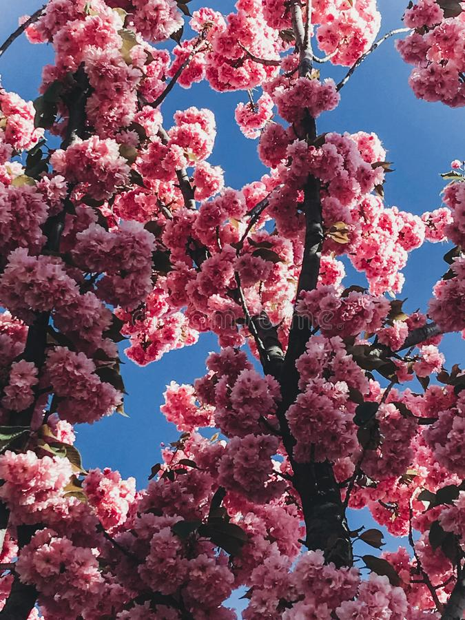 Beautiful pink sakura flowers on branches in blue sky. Cherry tree blossoms on sky in sunny garden. Hello spring. Phone photo royalty free stock photo