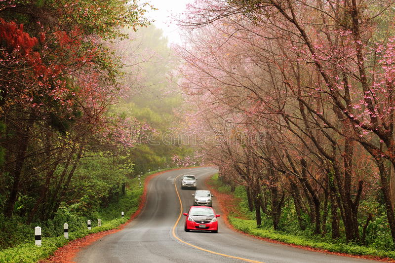 Beautiful pink sakura landscape view on road at Doi Ang Khang, C. Beautiful pink sakura landscape view and cars drive on road at Doi Ang Khang, Chiang Mai royalty free stock images