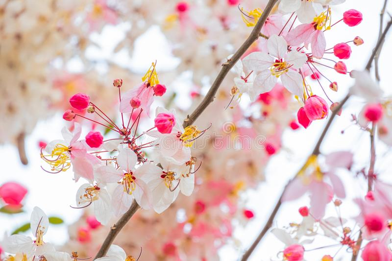 Beautiful pink shower flower blooming on branch wishing tree royalty free stock photography