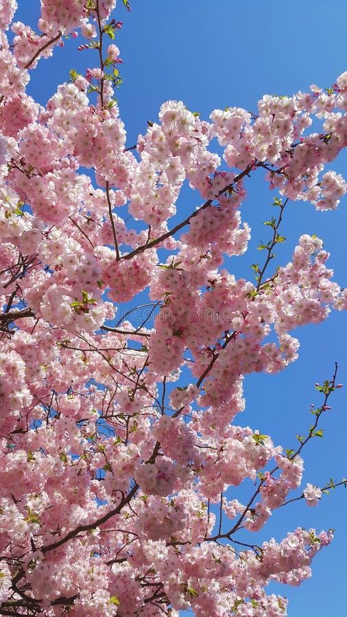 Pink Spring Blossom on Blue Sky stock photos