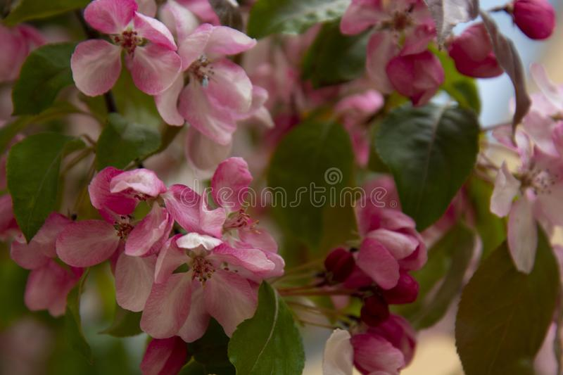 Beautiful pink spring cherry tree flowers blossom, close up. Opening flower stock photography