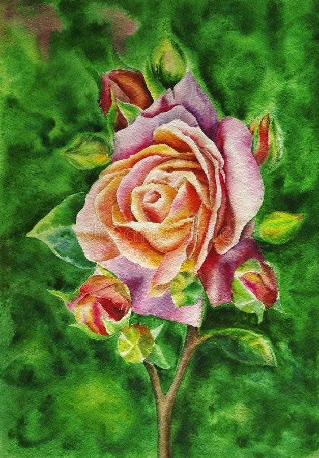 Beautiful pink tea rose on a background of green summer foliage, painted with watercolor hands. Illustration. Watercolor vector illustration