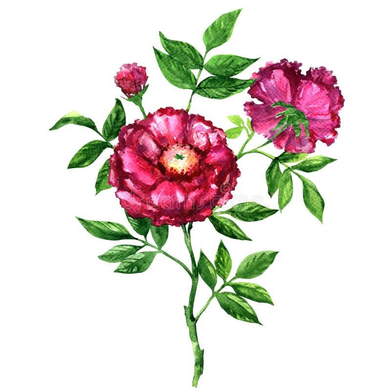 Beautiful pink tea rose isolated, watercolor illustration on white stock illustration