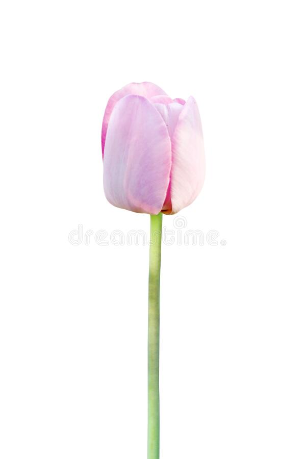 Beautiful pink tulip flower isolated on white for design greeting card decor. Beautiful pink tulip flower isolated on the white for design greeting card decor royalty free stock photos