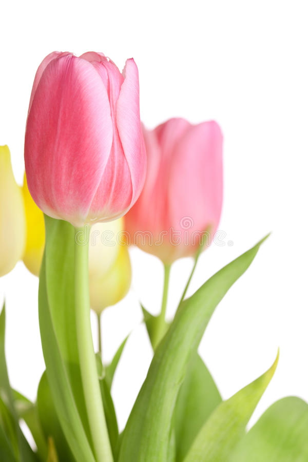 Beautiful pink tulip flowers stock image