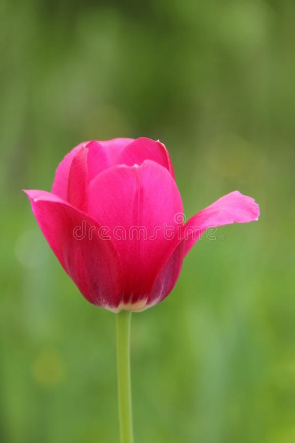 Beautiful pink Tulip on green natural background closeup. Flower for postcard, greeting card. Garden flower with bright stock photography