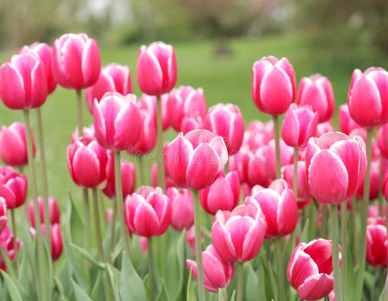 Download Beautiful Pink Tulips Royalty Free Stock Image - Image: 14054296