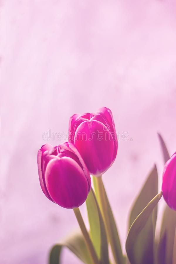 Beautiful pink tulips, a bouquet of spring flowers stock photography