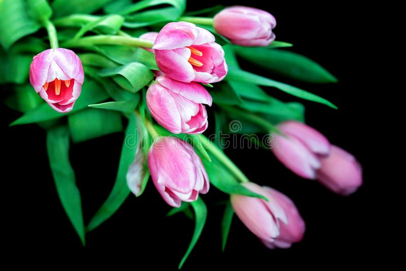 Beautiful Pink Tulips With Dew on Flowers With Natural Light on Black Background.. Macro Flower. royalty free stock images