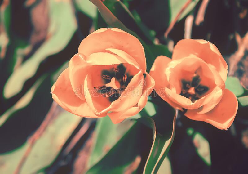 Beautiful pink tulips in the garden on a flower bed on a Sunny day, close-up from above, selective focus, vintage photo. royalty free stock photos