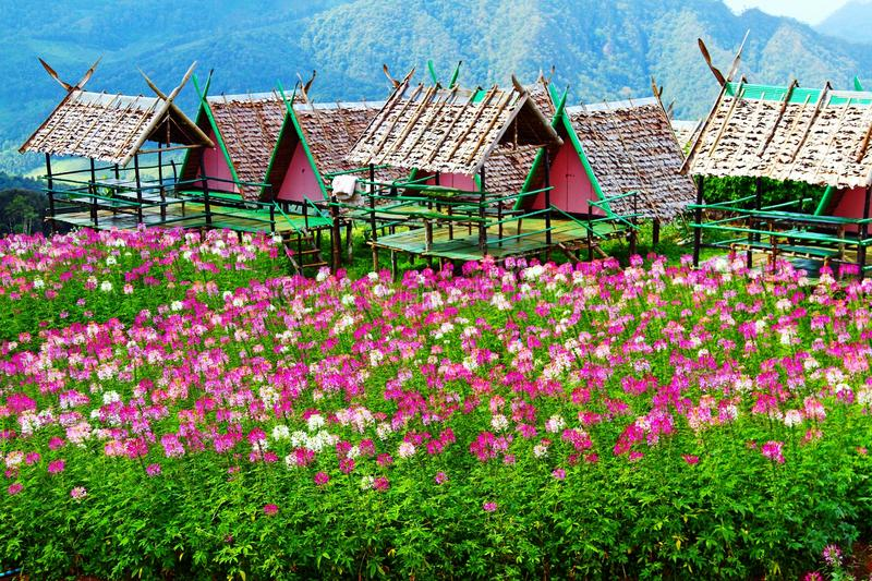 Beautiful pink, violet and white flowers field with wooden shelters or house and big mountaind background at Chiangmai, Thailand. Landscape and Nature royalty free stock photography