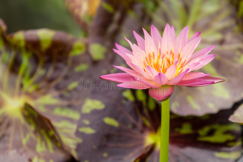 Beautiful pink water lily. With background of leaf stock images