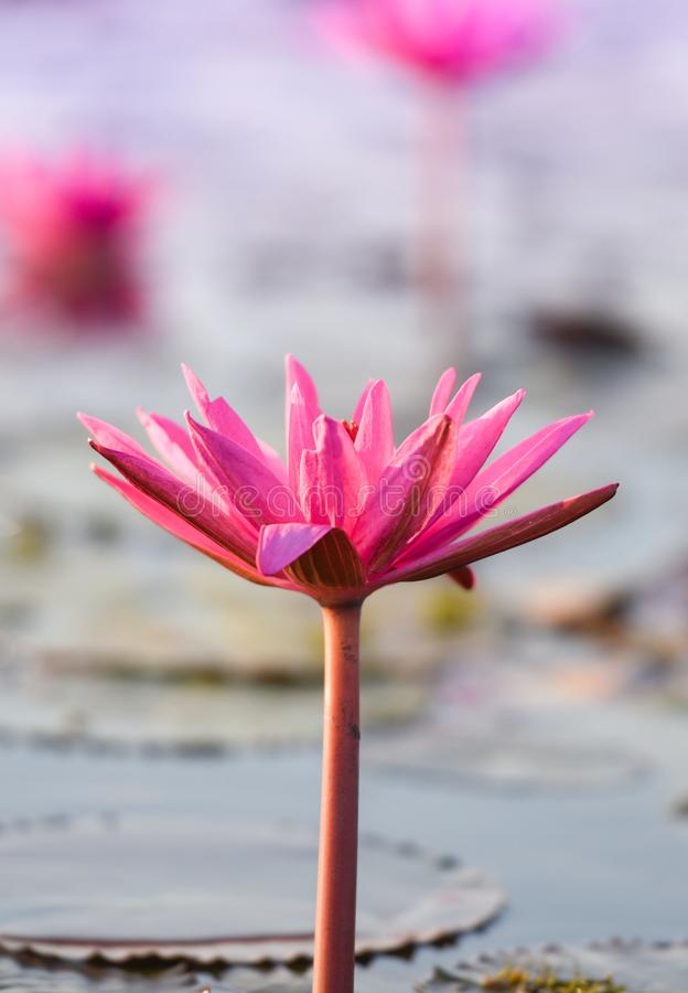 Beautiful pink water lily. Closeup stock image