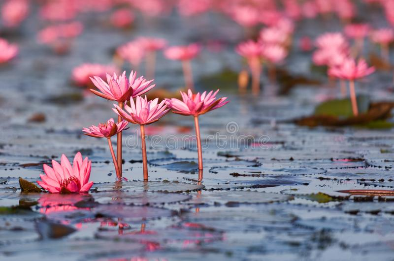Beautiful pink water lily. In the river royalty free stock images