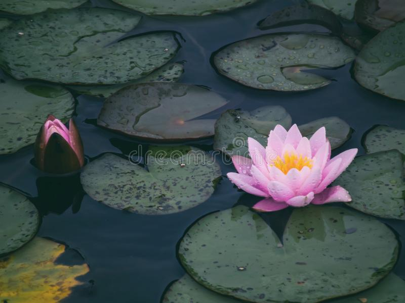 Beautiful pink water lily and blooming bud stock photo