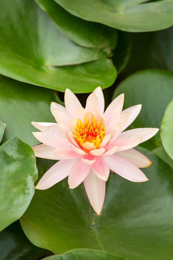 Beautiful pink water lily. Closeup royalty free stock photos