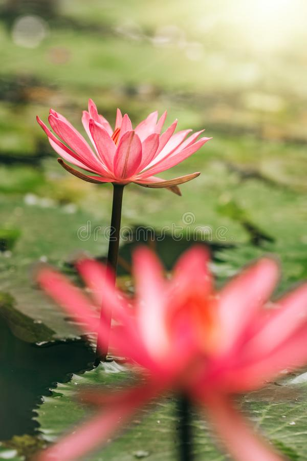 Beautiful pink water lily closeup. Beautiful pink water lily close up stock photo