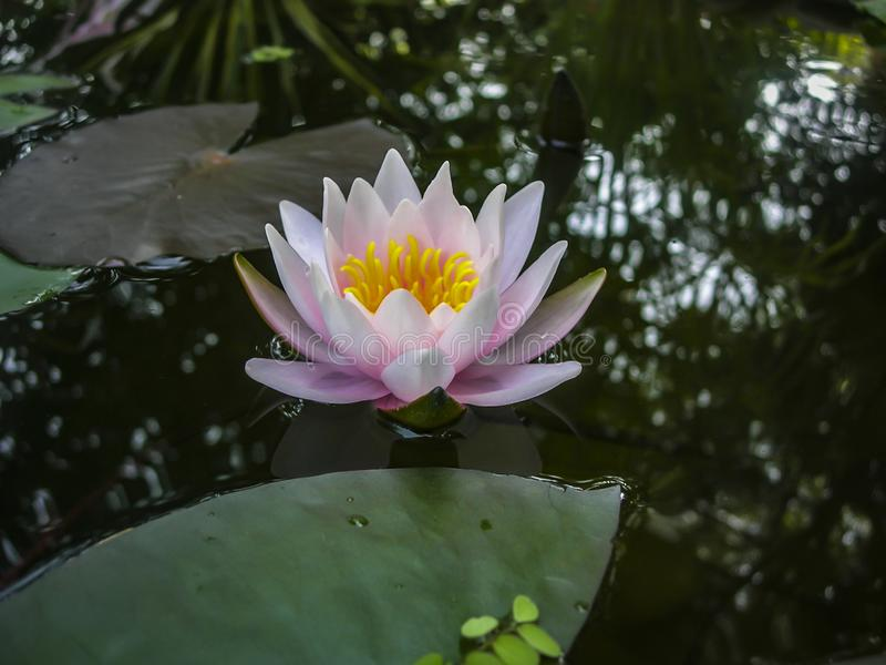 Beautiful pink water lily or lotus flower Marliacea Rosea in the black water of the pond. royalty free stock photos