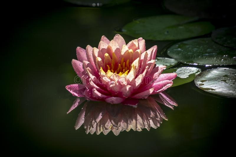 Beautiful pink water lily or lotus flower with petals with water drops or dew. Nymphaea Perrys Orange Sunset is reflected in the w. Ater. Nature concept for stock photography