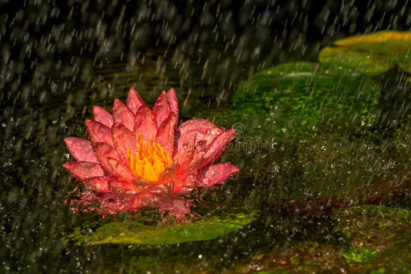 A beautiful pink water lily stock photography