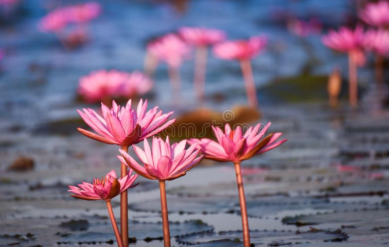 Beautiful pink water lily. In the river stock photography
