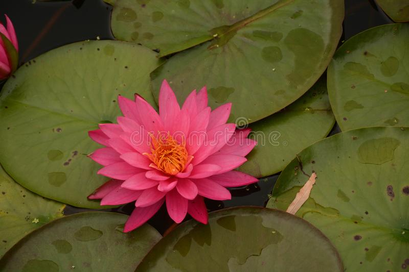 Beautiful Pink Waterlilies on the Pond. A view of pink waterlilies and lily pads afloat on a pond in a local botanic garden royalty free stock photo