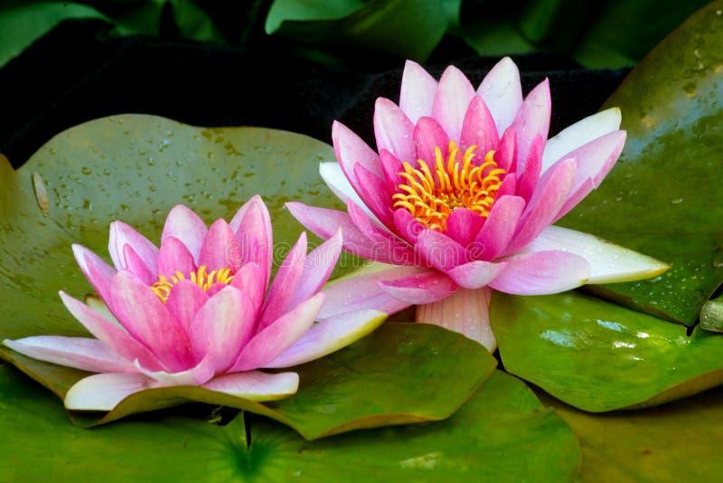 Beautiful pink waterlillies in bloom. Pink water lilies in bloom stock image