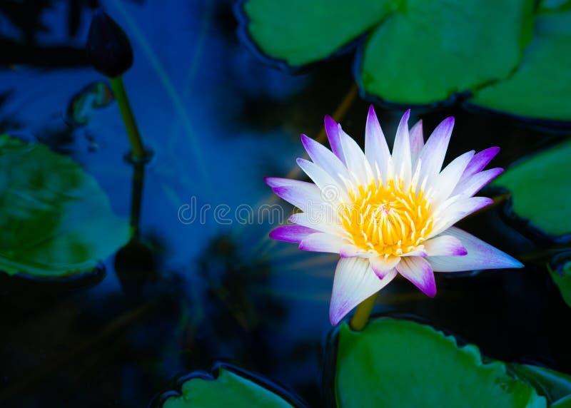Beautiful pink waterlily or lotus flower in pond. royalty free stock image