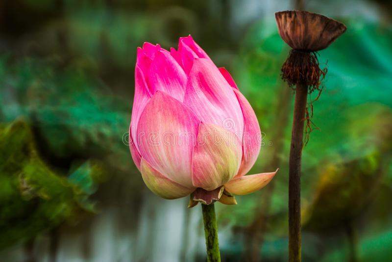 Beautiful pink waterlily or lotus flower in pond royalty free stock image