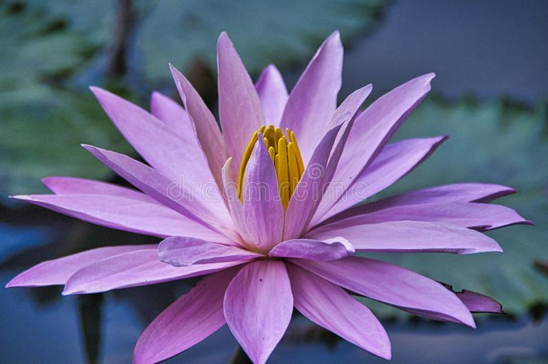 A beautiful pink waterlily or lotus flower in pond stock photos