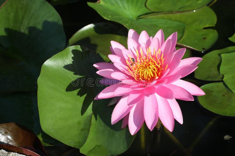 A beautiful pink waterlily or lotus flower royalty free stock images