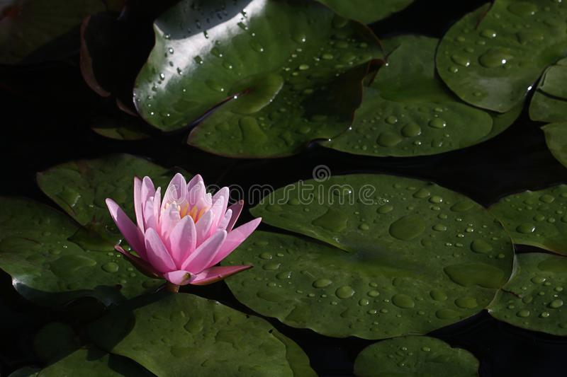 A beautiful pink waterlily or lotus flower stock photos
