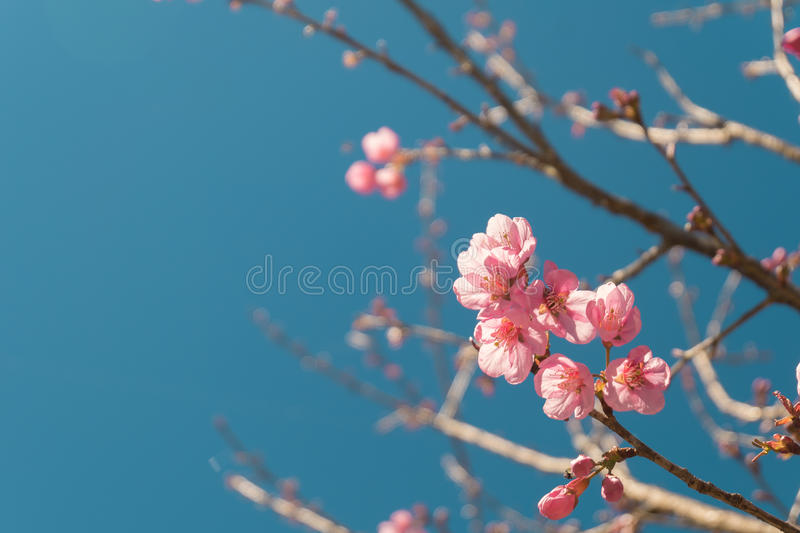 Beautiful Pink white Cherry blossom flowers tree branch in garden with blue sky, Sakura. natural winter spring background. stock photography