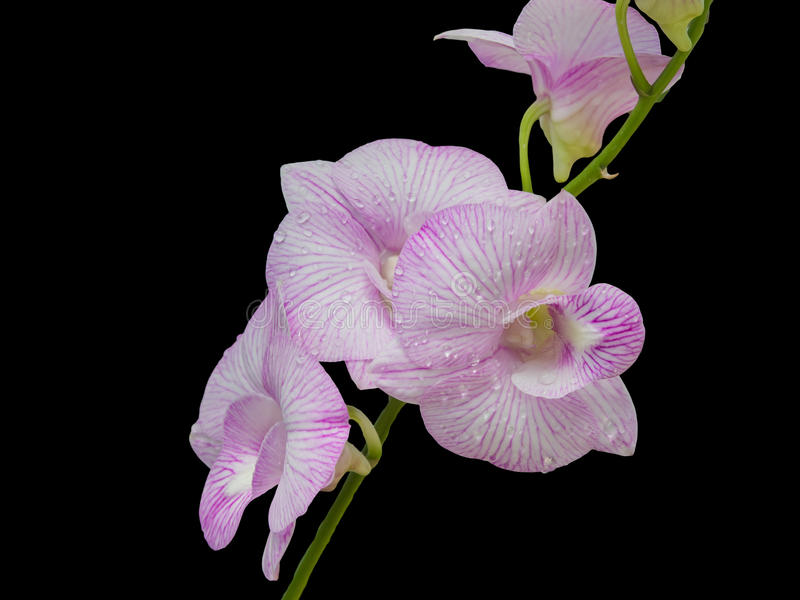 Beautiful pink-white color orchids on black background. Beautiful pink-white color orchids isolated on black background stock images