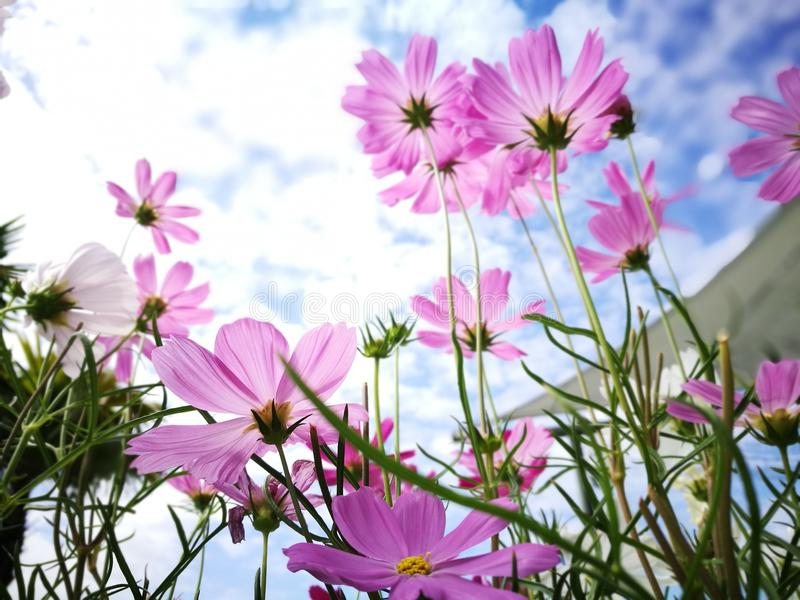 Beautiful pink and white cosmos flower againt blue sky in the fresh sunshine day. stock photos