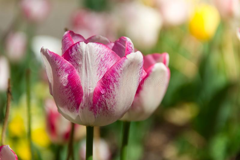 Beautiful pink and white isolated tulip in a brilliant green field during stock photography