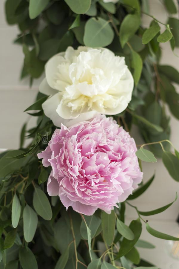 Beautiful pink and white peony close-up with leaves stock image